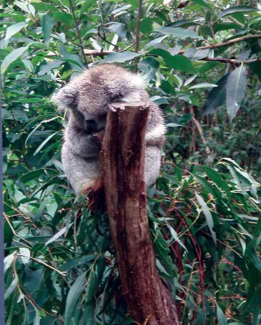 """Koala """"Benny"""" sleeping"""