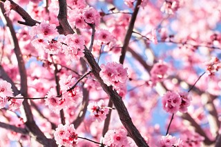 Cherry Blossom Picture