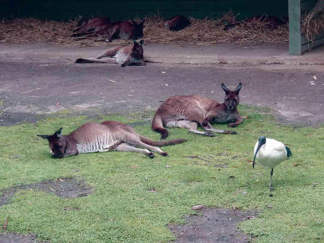 Kangaroos in Melbourne, Australia