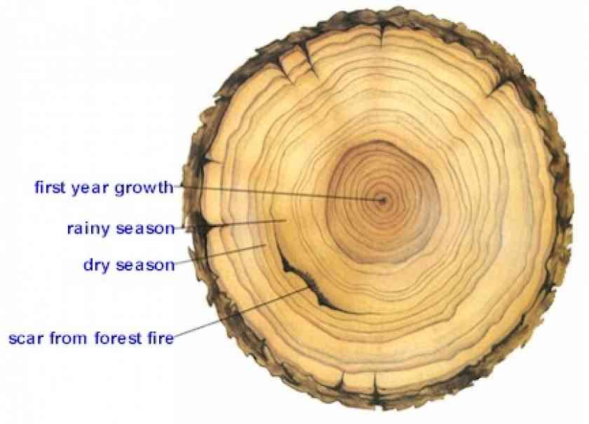 Tree ring growth dating advice 8